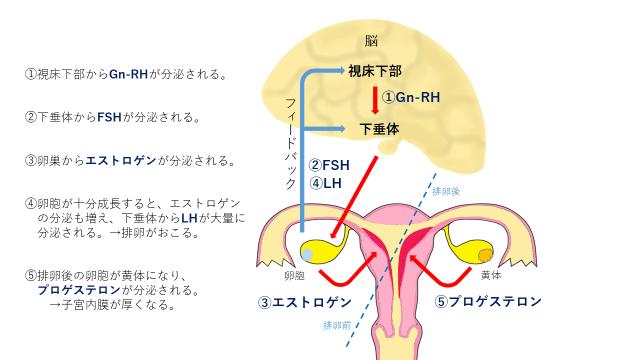 排卵に至るまでのホルモンの流れ